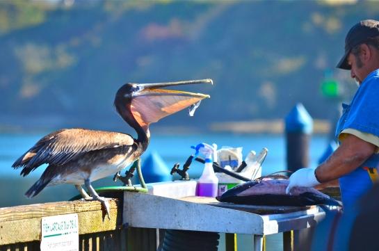 A pesky pelican...!!!