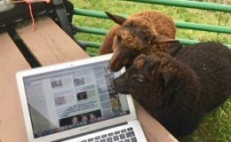 The Lambs Are CheckingToo…