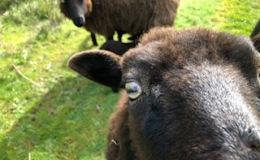Even the sheepnotice….